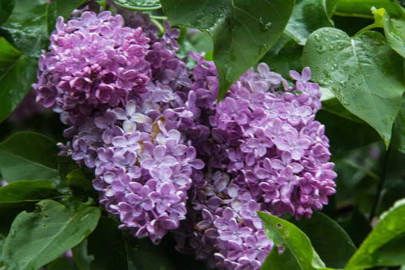 Lilac Flowers 2017
